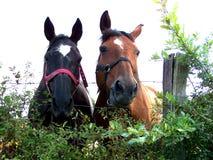 De paarden, twee paarden bekijken de fotograaf stock foto
