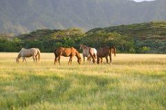 De paarden van Appaloosa Royalty-vrije Stock Fotografie
