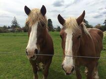 De paarden van België royalty-vrije stock afbeelding