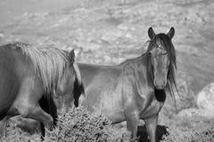 De paarden van de berg semi-wildernis stock afbeeldingen