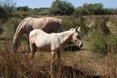 De paarden van Camargue Stock Foto's