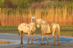 De paarden van Camargue Royalty-vrije Stock Afbeeldingen