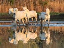 De paarden van Camargue Royalty-vrije Stock Foto's