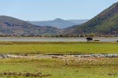 De paarden van de toeristenrit in shangrila Stock Afbeelding