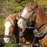 De paarden van de trekking stock afbeeldingen