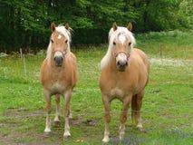 De Paarden van Harflinger Stock Foto's