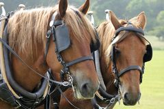 De paarden van het graafschap Stock Afbeelding