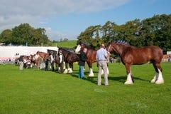 De paarden van het graafschap bij de show in Westmorland tonen stock foto's