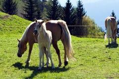 De paarden van het Haflingerras in St Catarine, Zuid-Tirol, Itali? royalty-vrije stock foto