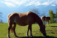 De paarden van het Haflingerras in St Catarine, Zuid-Tirol, Itali? stock foto