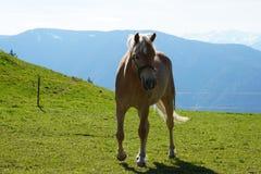 De paarden van het Haflingerras in St Catarine, Zuid-Tirol, Itali? royalty-vrije stock afbeelding