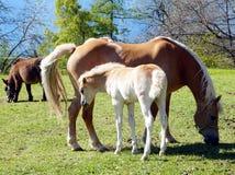De paarden van het Haflingerras in St Catarine, Zuid-Tirol, Itali? stock afbeeldingen