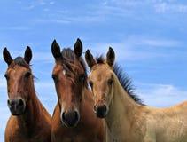 De paarden van het kwart in het weiland stock afbeeldingen