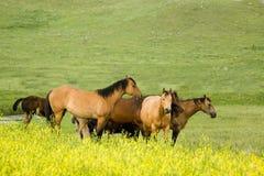 De paarden van het kwart in klaver Stock Afbeelding