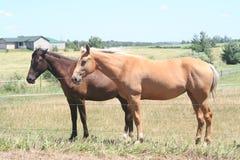 De paarden van het landbouwbedrijf Royalty-vrije Stock Afbeeldingen