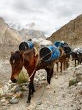 De Paarden van het pak in de Bergen Karakorum stock afbeelding