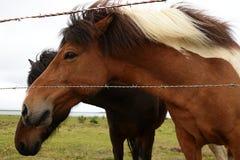 De paarden van IJsland Royalty-vrije Stock Foto's