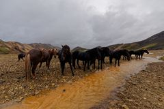 De paarden van IJsland door rivier Royalty-vrije Stock Afbeeldingen