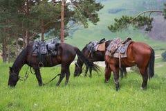 De paarden van Karachaev Stock Afbeeldingen