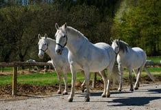 De paarden van Lipizzaner Stock Foto