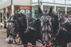 De paarden van mackinaweiland Michigan stock afbeelding