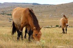 De paarden van Przewalski Royalty-vrije Stock Afbeeldingen