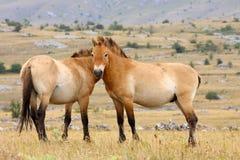 De paarden van Przewalski Stock Afbeeldingen