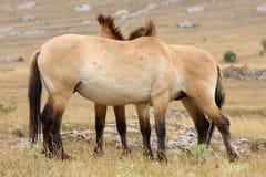 De paarden van Przewalski Royalty-vrije Stock Fotografie