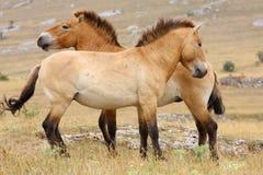 De paarden van Przewalski Royalty-vrije Stock Foto