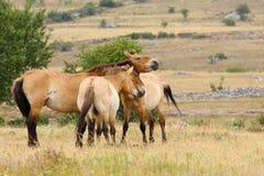 De paarden van Przewalski Stock Fotografie