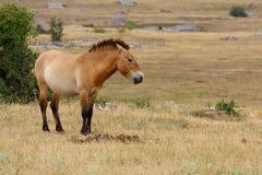 De paarden van Przewalski Stock Foto's