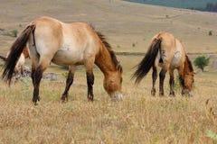 De paarden van Przewalski Stock Foto