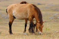 De paarden van Przewalski Stock Afbeelding