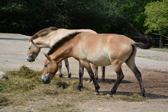De paarden van Przewalski (Equus-przewalskii) Royalty-vrije Stock Fotografie