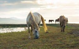De paarden weiden avond Royalty-vrije Stock Afbeelding