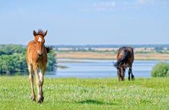 De paarden weiden dichtbij de rivier Royalty-vrije Stock Afbeeldingen