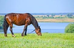 De paarden weiden dichtbij de rivier Stock Fotografie