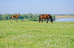 De paarden weiden dichtbij de rivier Royalty-vrije Stock Foto's