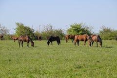 De paarden weiden in het weiland Paddockpaarden op een paardlandbouwbedrijf Lopende Paarden Royalty-vrije Stock Fotografie