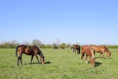 De paarden weiden in het weiland Paddockpaarden op een paardlandbouwbedrijf Lopende Paarden Royalty-vrije Stock Afbeeldingen