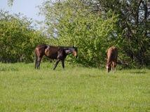 De paarden weiden in het weiland Paddockpaarden op een paardlandbouwbedrijf Lopende Paarden Stock Foto's
