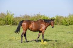 De paarden weiden in het weiland Paddockpaarden op een paardlandbouwbedrijf Lopende Paarden Stock Afbeeldingen