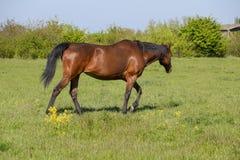 De paarden weiden in het weiland Paddockpaarden op een paardlandbouwbedrijf Lopende Paarden Royalty-vrije Stock Foto