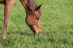 De paarden weiden in het weiland Paddockpaarden op een paardlandbouwbedrijf Lopende Paarden Stock Foto