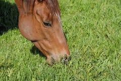 De paarden weiden in het weiland Paddockpaarden op een paardlandbouwbedrijf Lopende Paarden Royalty-vrije Stock Foto's