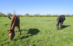 De paarden weiden in het weiland Paddockpaarden op een paardlandbouwbedrijf Lopende Paarden Stock Fotografie