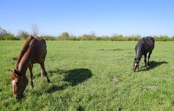 De paarden weiden in het weiland Paddockpaarden op een paardlandbouwbedrijf Lopende Paarden Stock Afbeelding
