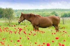 De paarden weiden op een papavergebied. stock fotografie