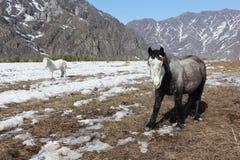De paarden weiden op een sneeuwopen plek Stock Afbeelding