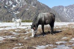 De paarden weiden op een sneeuwopen plek onder bergen Stock Fotografie